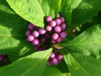 Callicarpa japonica   - Japanese Beautyberry