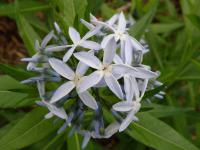 Amsonie (Amsonia illustris)