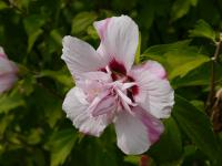 Hibiscus syriacus  'Lady Stanley' - Rose of Sharon