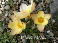 Crocus chrysanthus   'Spring Pearl'  Golden Crocus flowers