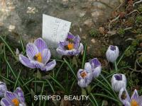 (Crocus vernus) Šafrán jarní Striped Beauty