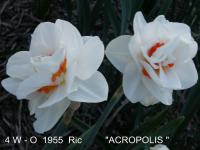 Narcissus 'Acropolis'  Daffodil flowers