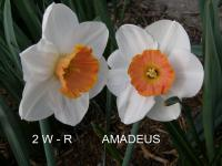 Narcissus 'Amadeus'  Daffodil flowers