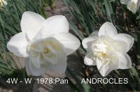Narcissus 'Androcles'  Daffodil flowers