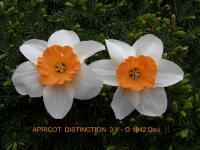 Narcissus  'Apricot Distinction' - Daffodil
