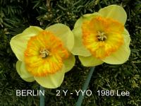 Narcissus   'Berlin'  Daffodil flowers