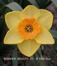 Narcissus  'Border Beauty' - Daffodil