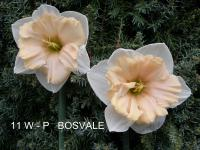 Narcissus  'Bosvale' - Daffodil