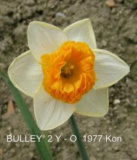 Narcissus 'Bulley'  Daffodil flowers