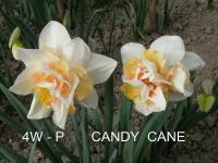 Narcissus  'Candy Cane'  Daffodil flowers