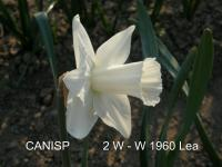 Narcissus 'Canisp'  Daffodil flowers