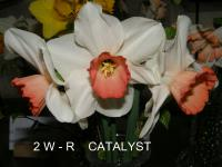 Narcissus  'Catalyst' - Daffodil