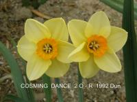 Narcissus  'Cosming Dance' - Daffodil