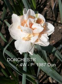 Narcissus 'Dorchester'  Daffodil flowers