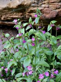 Silene dioica   Red Campion plant