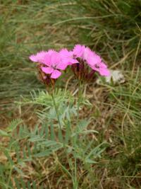 Dianthus carthusianorum   Carthusian Pink flowers