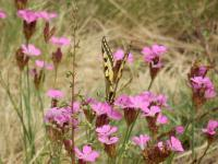 Dianthus carthusianorum   Carthusian Pink plant