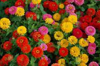 Zinnia elegans 'Dreamland Mix'  Youth-and-age flowers