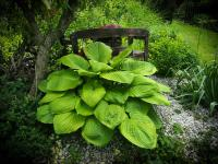 Hosta 'Sum and Substance'  Plantain Lily plant
