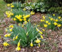 (Narcissus) Narcis